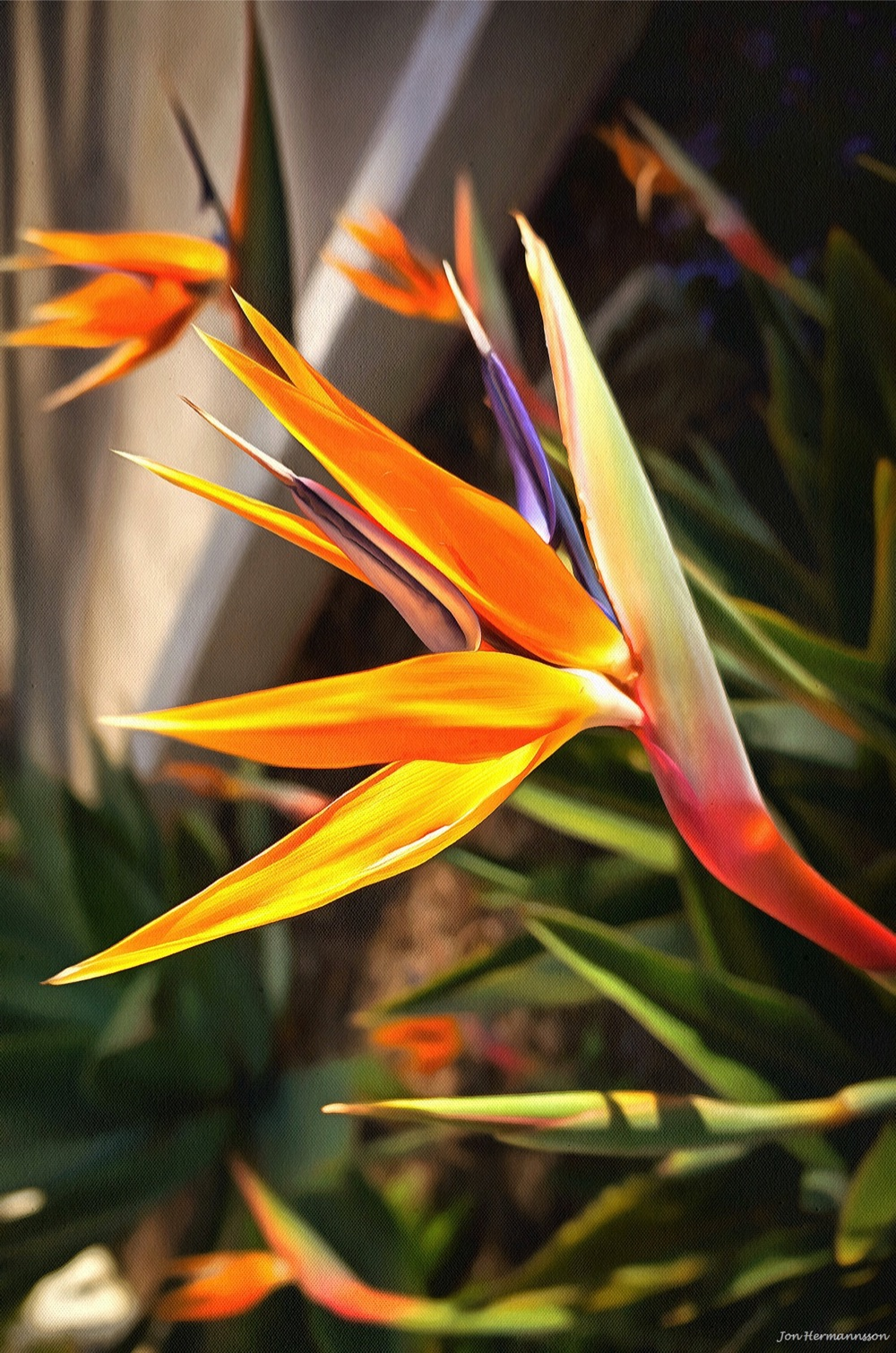 DSC00700-bird of paradise - jon hermannsson