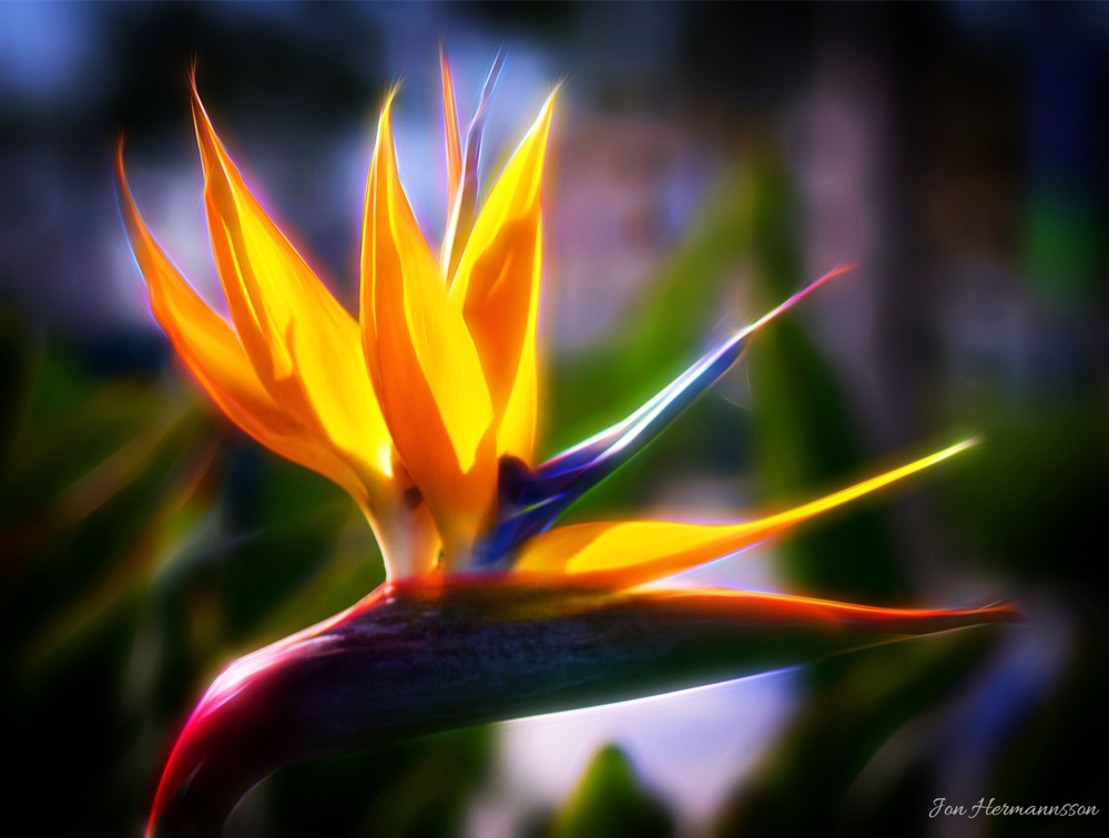 bird of paradise art